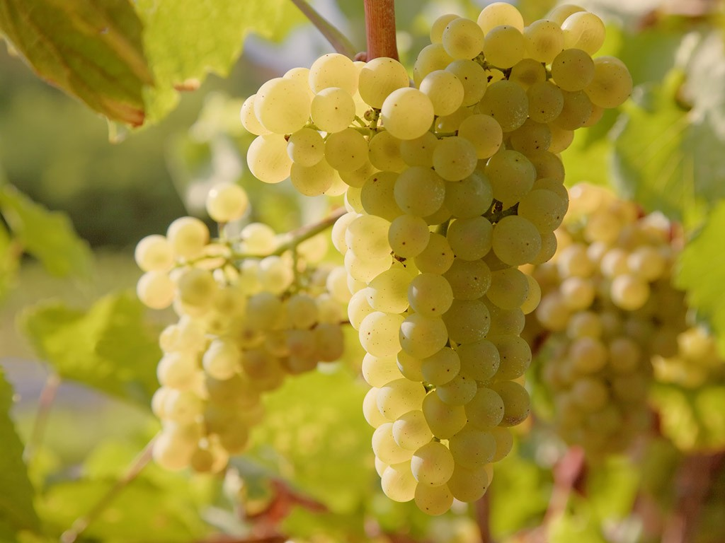 vermentino-di-gallura-grapes